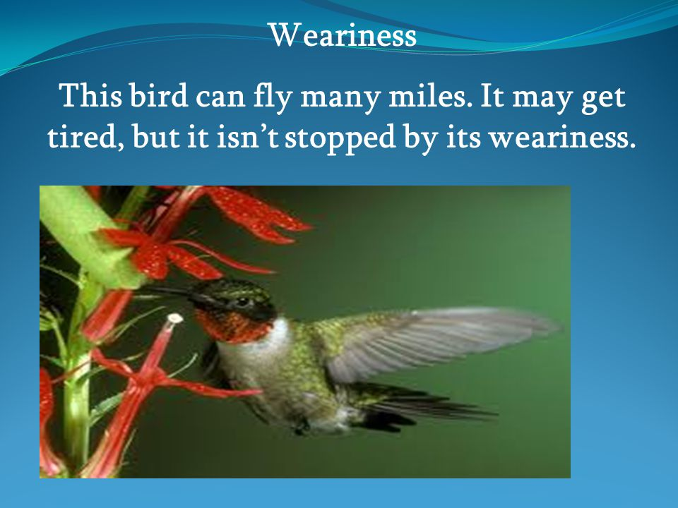 Weariness This bird can fly many miles. It may get tired, but it isn't stopped by its weariness.