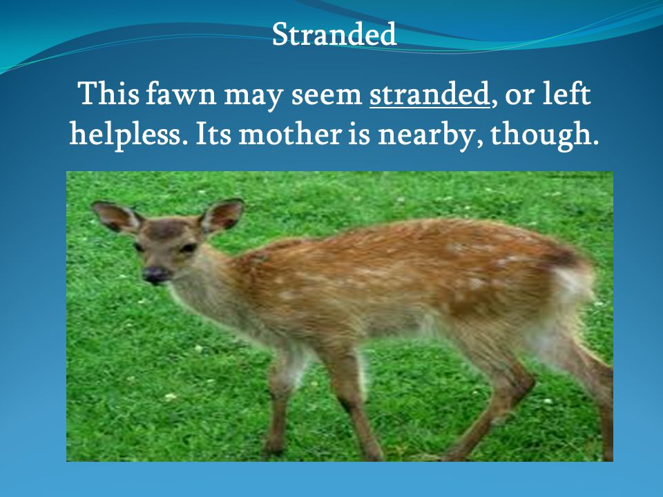 Stranded This fawn may seem stranded, or left helpless. Its mother is nearby, though.