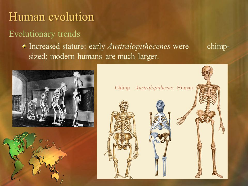 Human evolution Evolutionary trends Increased stature: early Australopithecenes were chimp- sized; modern humans are much larger. Chimp Australopithec