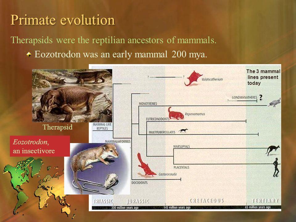 Primate evolution Therapsids were the reptilian ancestors of mammals. Eozotrodon was an early mammal 200 mya. Therapsid Eozotrodon, an insectivore The