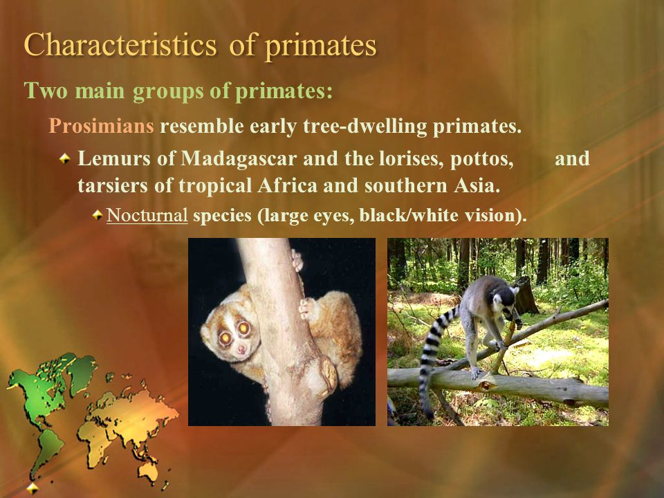Characteristics of primates Two main groups of primates: Prosimians resemble early tree-dwelling primates. Lemurs of Madagascar and the lorises, potto