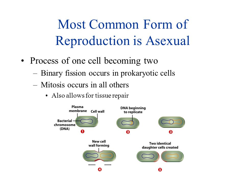 Most Common Form of Reproduction is Asexual Process of one cell becoming two –Binary fission occurs in prokaryotic cells –Mitosis occurs in all others
