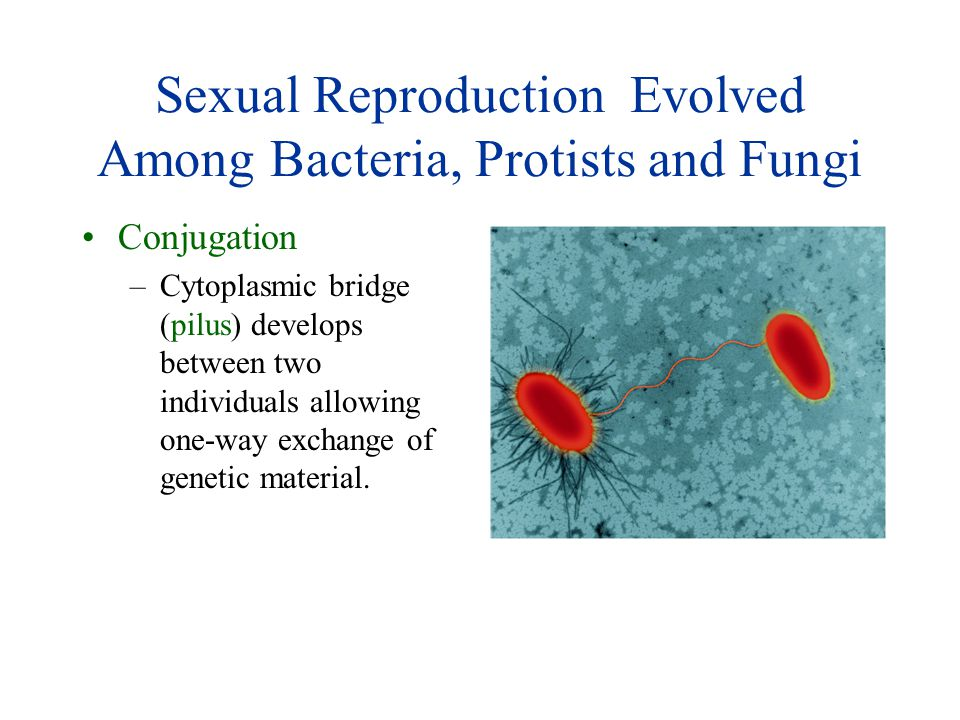 Sexual Reproduction Evolved Among Bacteria, Protists and Fungi Conjugation –Cytoplasmic bridge (pilus) develops between two individuals allowing one-w