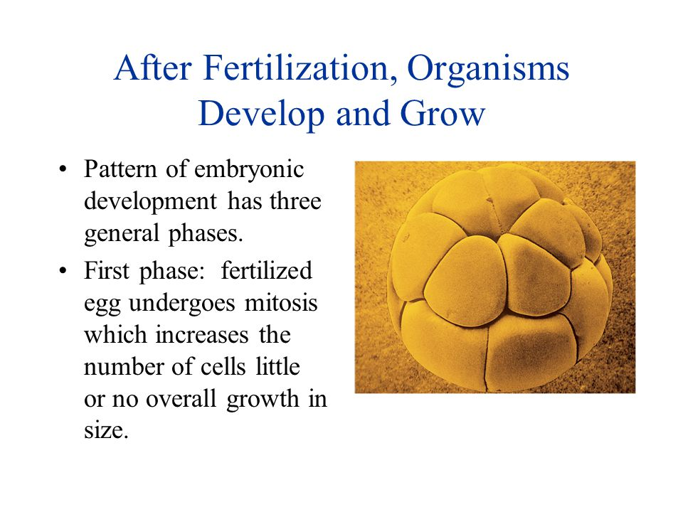 After Fertilization, Organisms Develop and Grow Pattern of embryonic development has three general phases. First phase: fertilized egg undergoes mitos