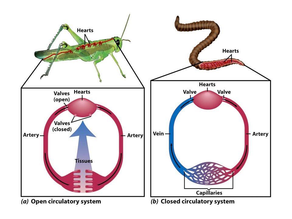 Many Animals Successfully Reproduce on Land The ability to reproduce on land apparently evolved independently among segmented worms, mollusks, arthropods and chordates.