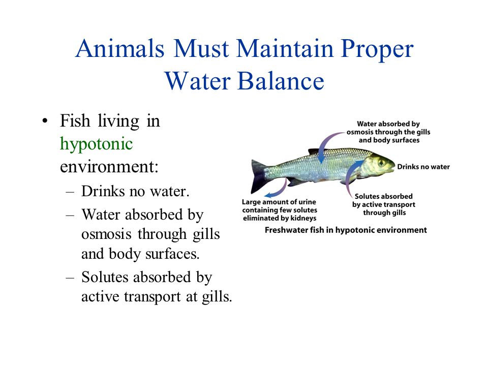 Animals Must Maintain Proper Water Balance Fish living in hypotonic environment: –Drinks no water. –Water absorbed by osmosis through gills and body s