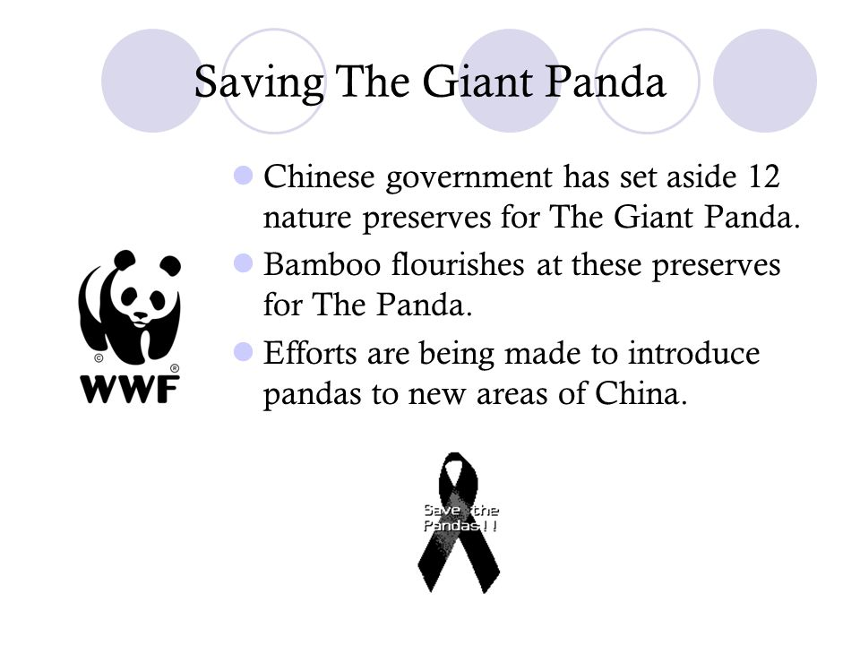 Saving The Giant Panda Chinese government has set aside 12 nature preserves for The Giant Panda. Bamboo flourishes at these preserves for The Panda. E