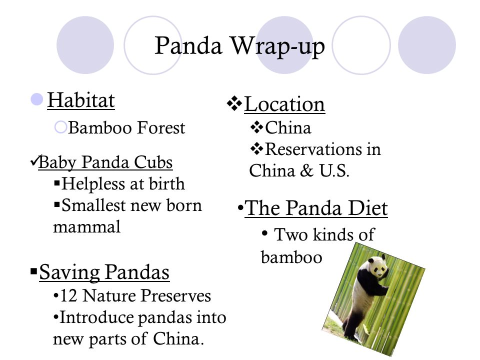 Panda Wrap-up Habitat  Bamboo Forest  Location  China  Reservations in China & U.S. Baby Panda Cubs  Helpless at birth  Smallest new born mammal