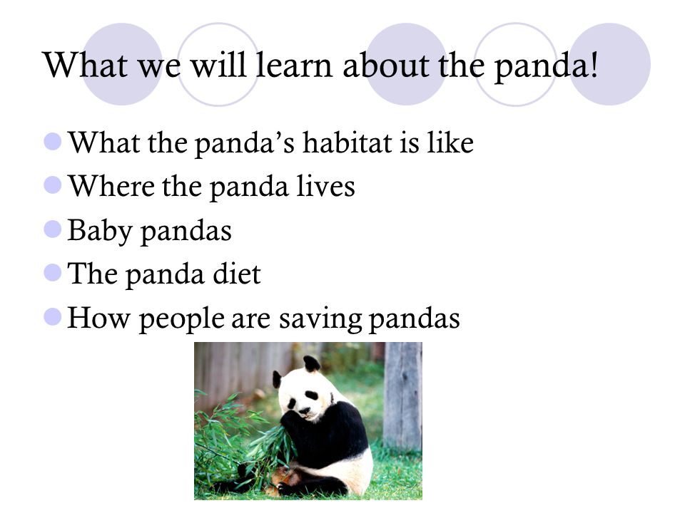 What we will learn about the panda! What the panda's habitat is like Where the panda lives Baby pandas The panda diet How people are saving pandas