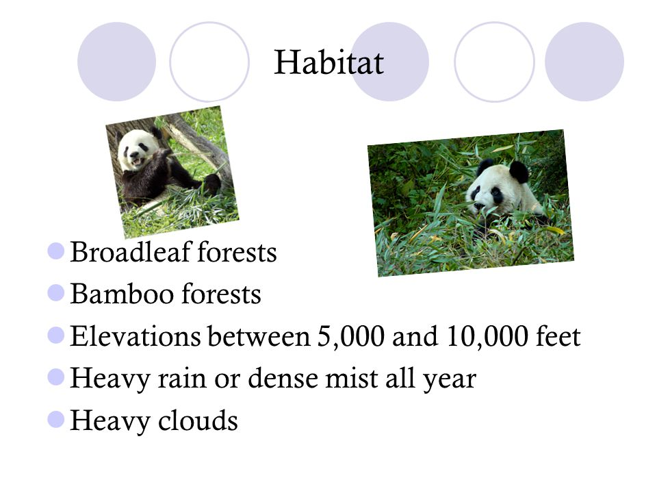 Habitat Broadleaf forests Bamboo forests Elevations between 5,000 and 10,000 feet Heavy rain or dense mist all year Heavy clouds