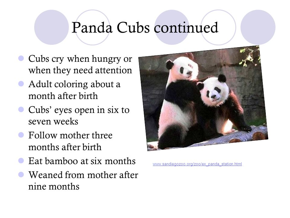 Panda Cubs continued Cubs cry when hungry or when they need attention Adult coloring about a month after birth Cubs' eyes open in six to seven weeks F