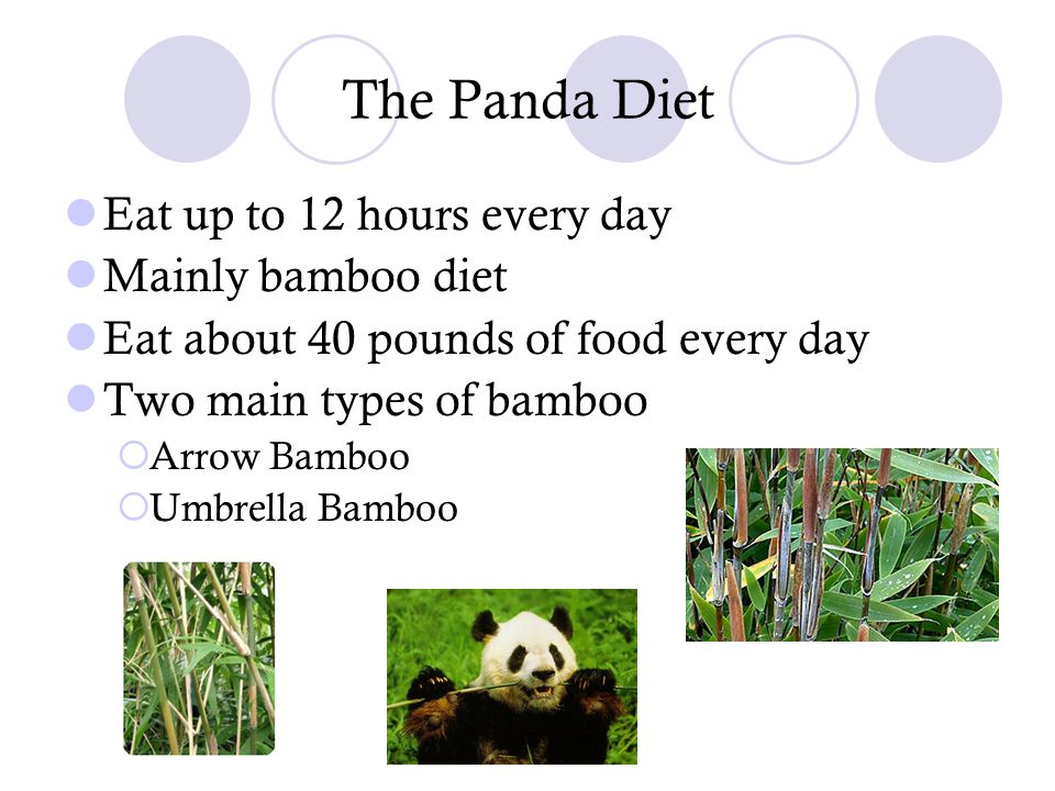 The Panda Diet Eat up to 12 hours every day Mainly bamboo diet Eat about 40 pounds of food every day Two main types of bamboo  Arrow Bamboo  Umbrell