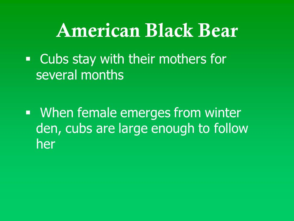 American Black Bear  Cubs stay with their mothers for several months  When female emerges from winter den, cubs are large enough to follow her