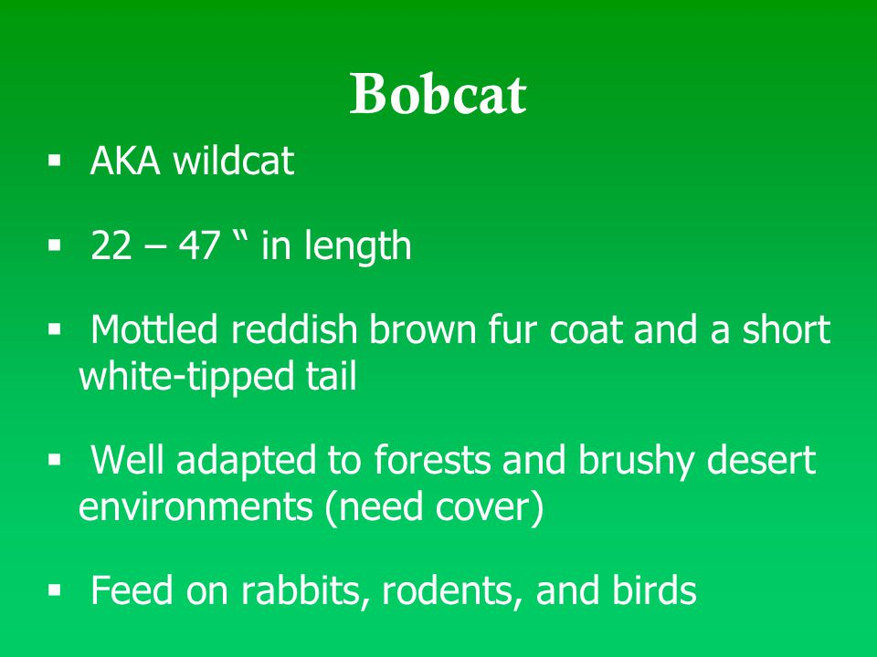 " AKA wildcat  22 – 47 "" in length  Mottled reddish brown fur coat and a short white-tipped tail  Well adapted to forests and brushy desert environ"