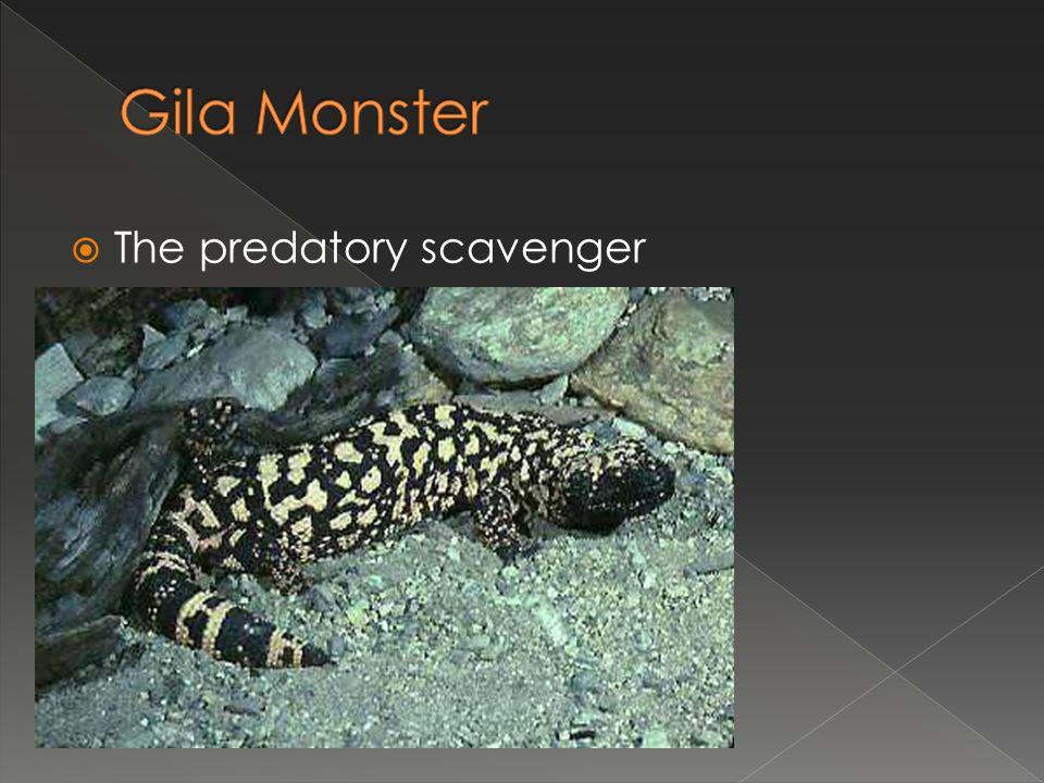  The predatory scavenger
