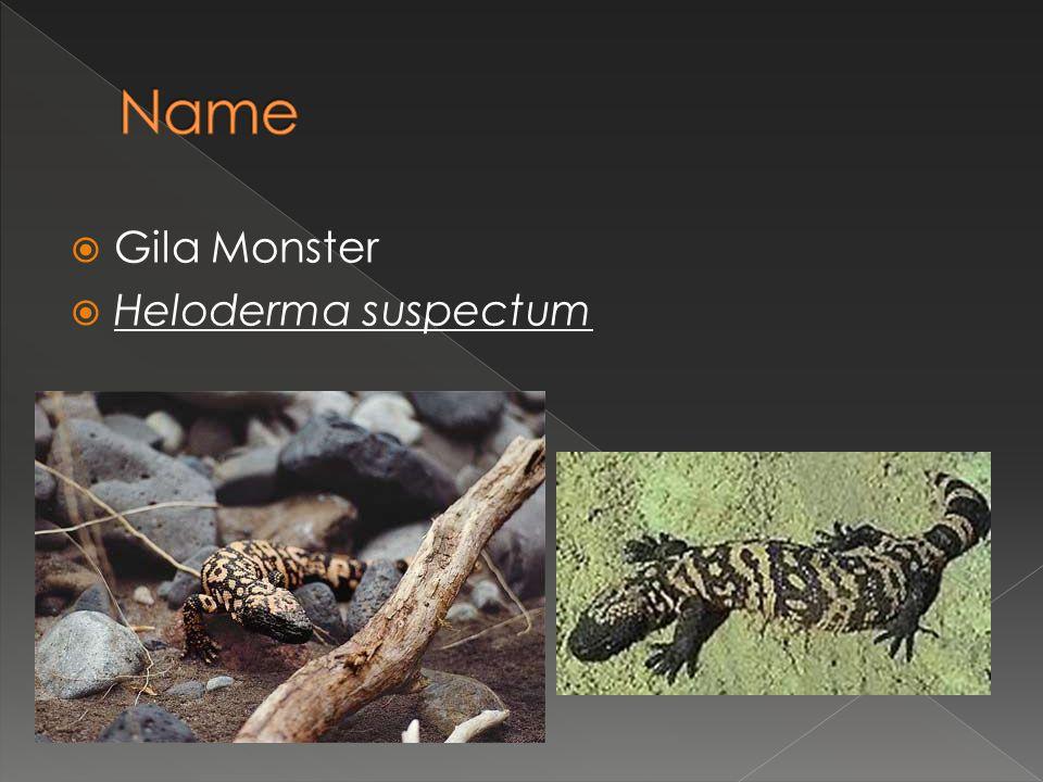  Gila Monster  Heloderma suspectum
