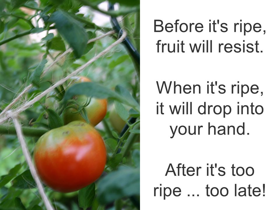 Before it s ripe, fruit will resist. When it s ripe, it will drop into your hand.