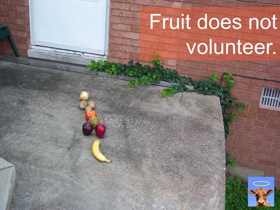 Fruit does not volunteer.