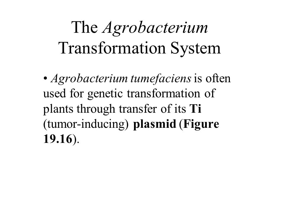 The Agrobacterium Transformation System Agrobacterium tumefaciens is often used for genetic transformation of plants through transfer of its Ti (tumor-inducing) plasmid (Figure 19.16).