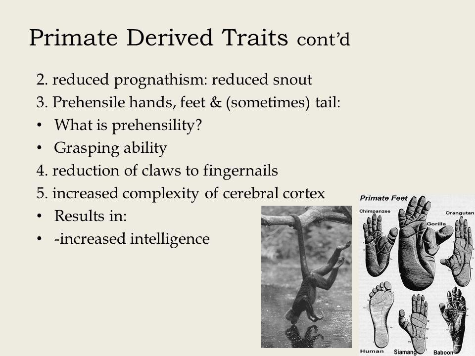 Primate Derived Traits cont'd 2.reduced prognathism: reduced snout 3.
