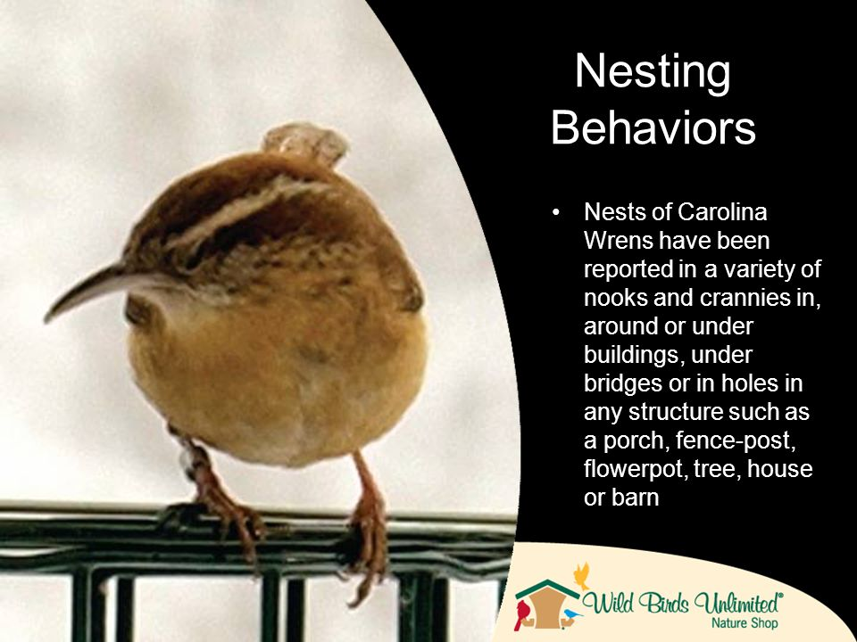 Nests of Carolina Wrens have been reported in a variety of nooks and crannies in, around or under buildings, under bridges or in holes in any structure such as a porch, fence-post, flowerpot, tree, house or barn Nesting Behaviors