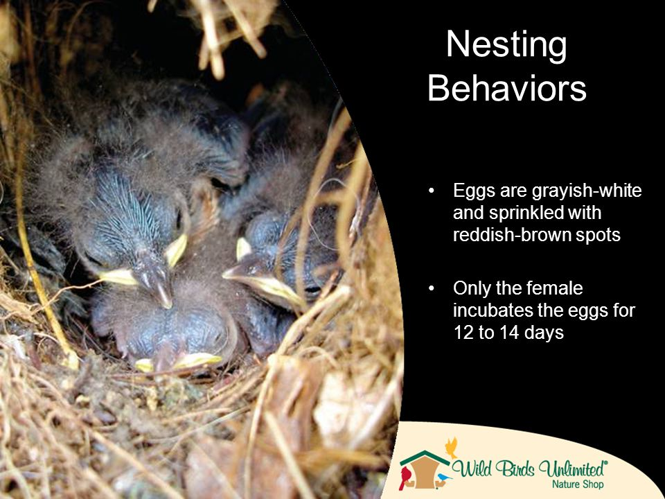 Eggs are grayish-white and sprinkled with reddish-brown spots Only the female incubates the eggs for 12 to 14 days Nesting Behaviors