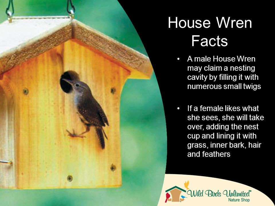 A male House Wren may claim a nesting cavity by filling it with numerous small twigs If a female likes what she sees, she will take over, adding the nest cup and lining it with grass, inner bark, hair and feathers House Wren Facts