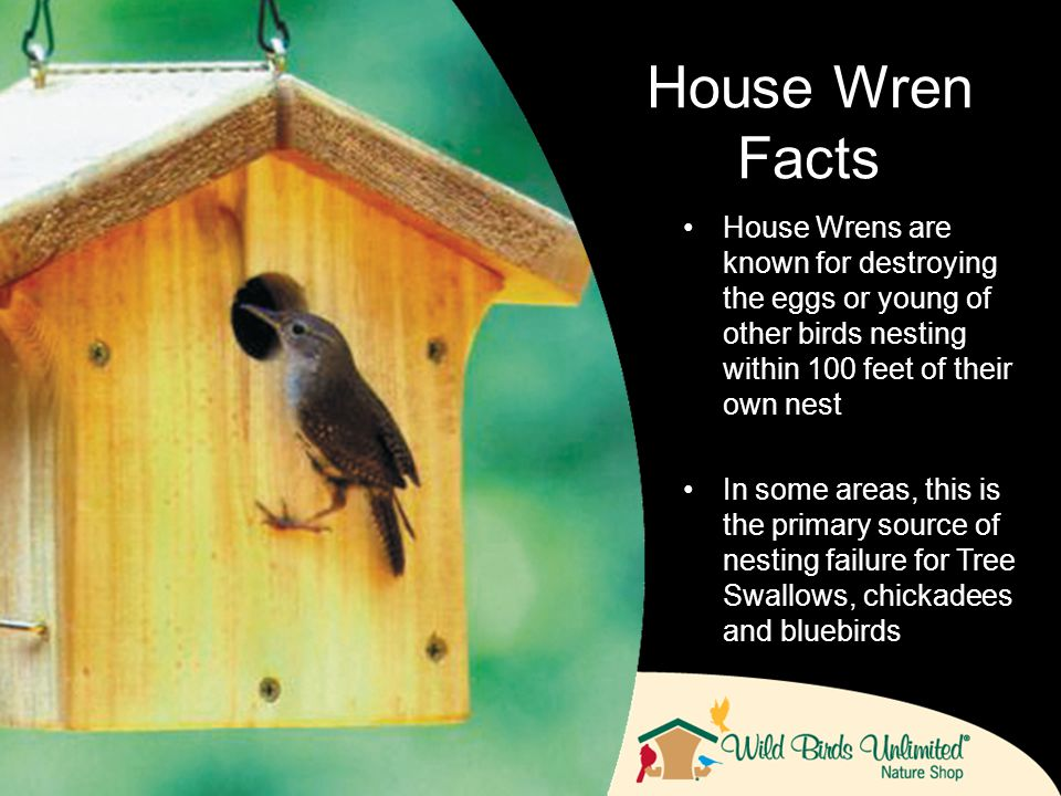 House Wrens are known for destroying the eggs or young of other birds nesting within 100 feet of their own nest In some areas, this is the primary source of nesting failure for Tree Swallows, chickadees and bluebirds House Wren Facts