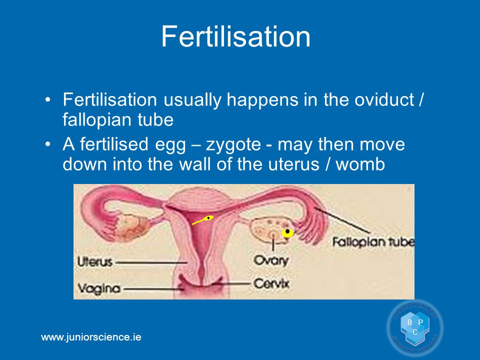 www.juniorscience.ie Fertilisation usually happens in the oviduct / fallopian tube A fertilised egg – zygote - may then move down into the wall of the