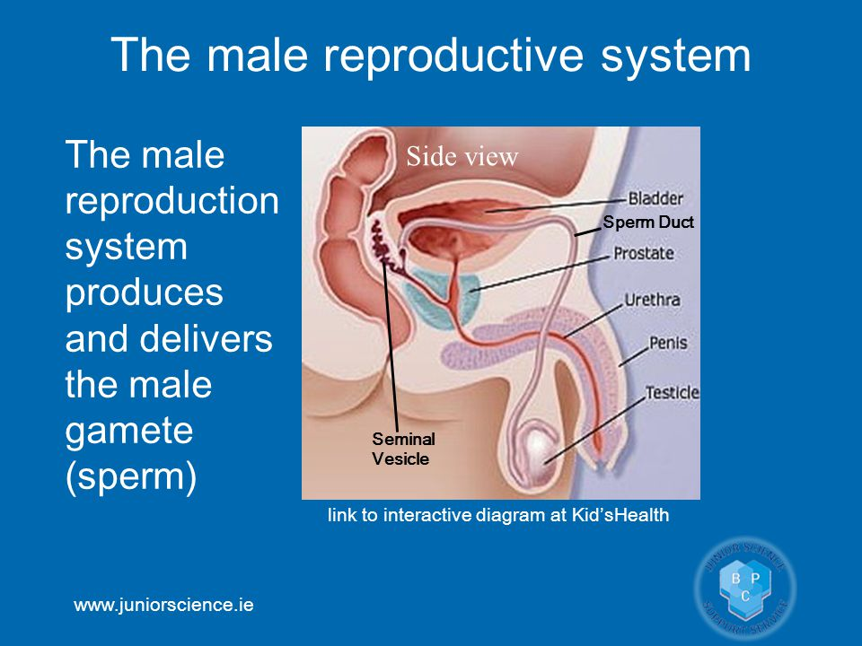 www.juniorscience.ie The male reproductive system The male reproduction system produces and delivers the male gamete (sperm) link to interactive diagr