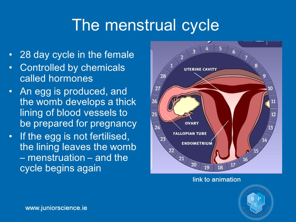 www.juniorscience.ie The menstrual cycle 28 day cycle in the female Controlled by chemicals called hormones An egg is produced, and the womb develops