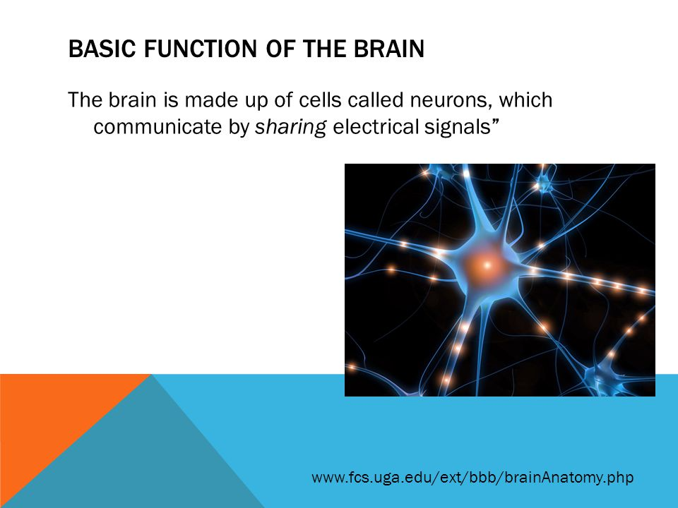BASIC FUNCTION OF THE BRAIN The networks of connections between neurons determine everything that happens in the brain.