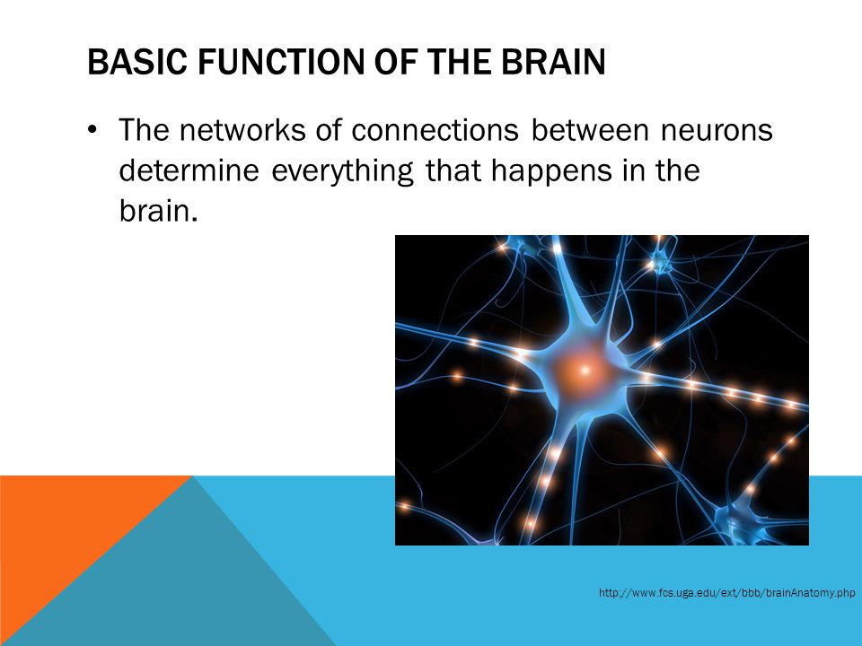 BASIC FUNCTION OF THE BRAIN The networks of connections between neurons determine everything that happens in the brain. http://www.fcs.uga.edu/ext/bbb
