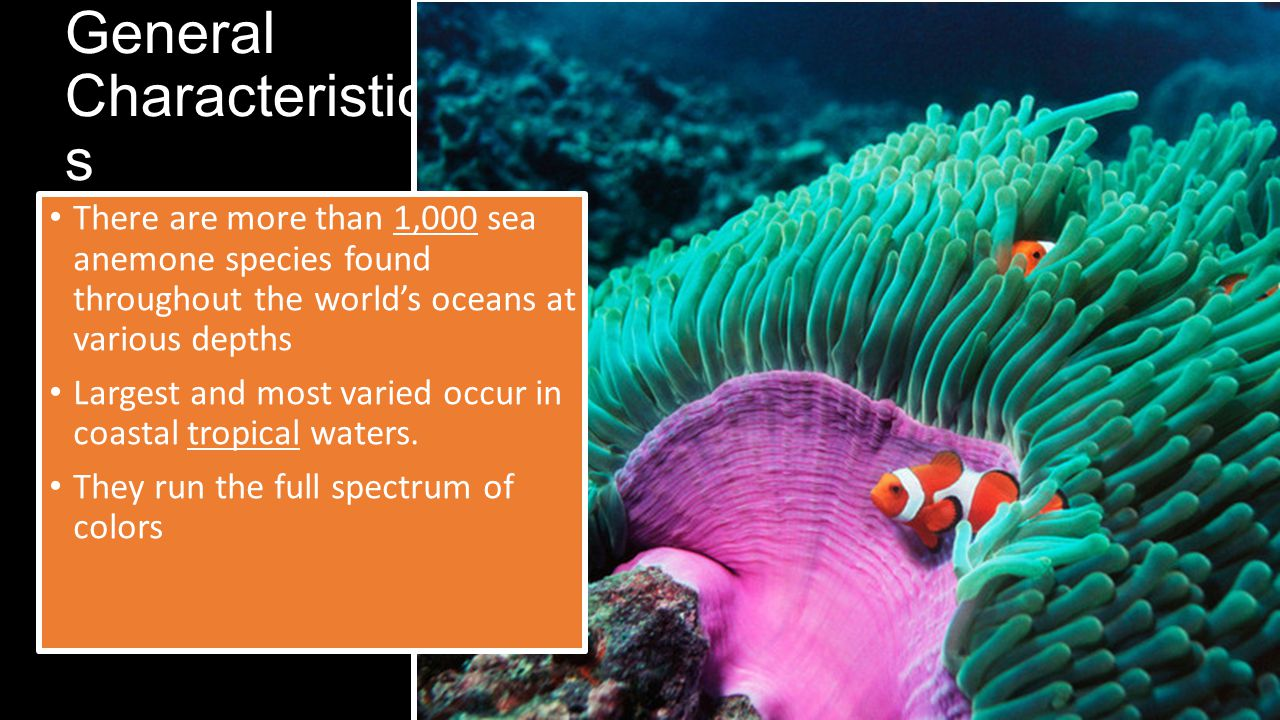 General Characteristic s There are more than 1,000 sea anemone species found throughout the world's oceans at various depths Largest and most varied occur in coastal tropical waters.