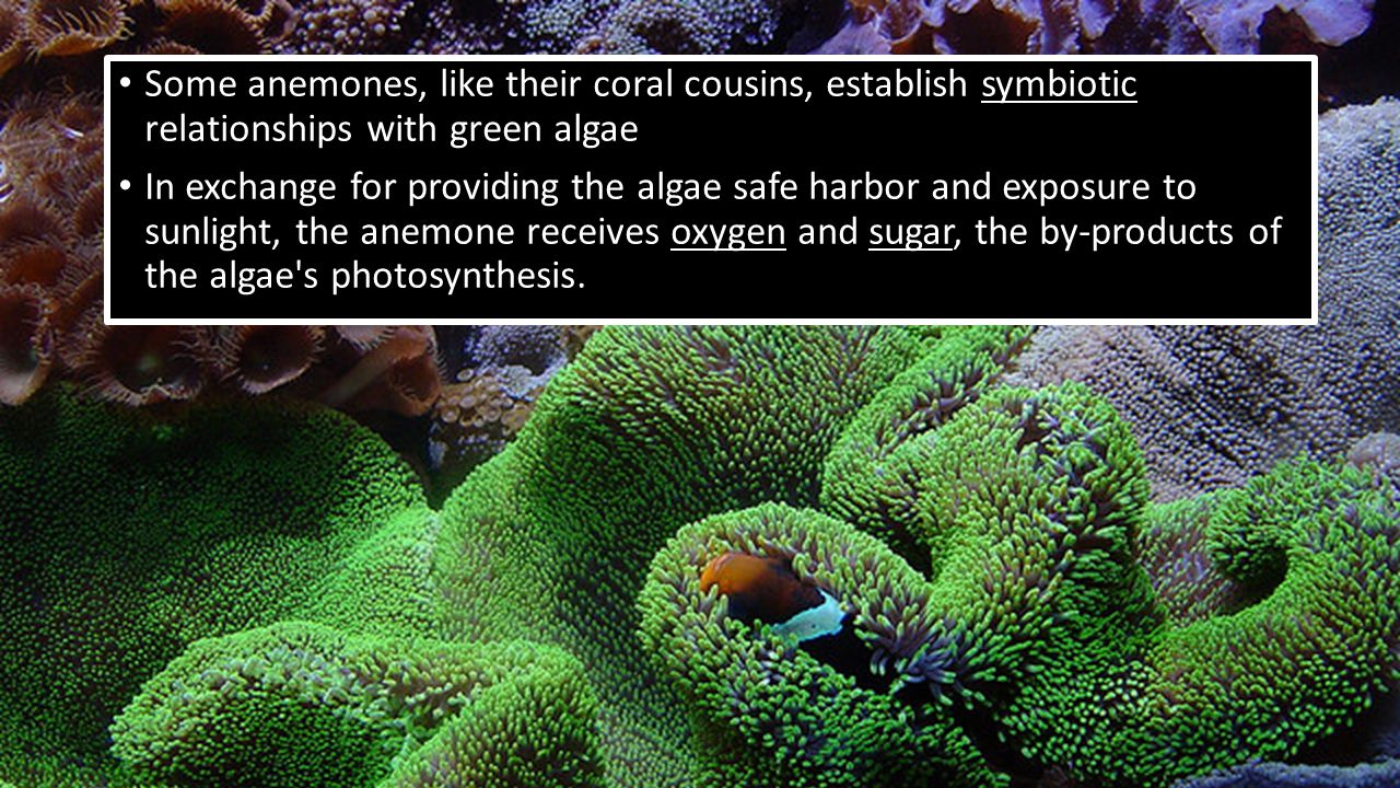 They form another, more famous symbiotic alliance with clownfish, which are protected by a mucus layer that makes them immune to the anemone s sting.