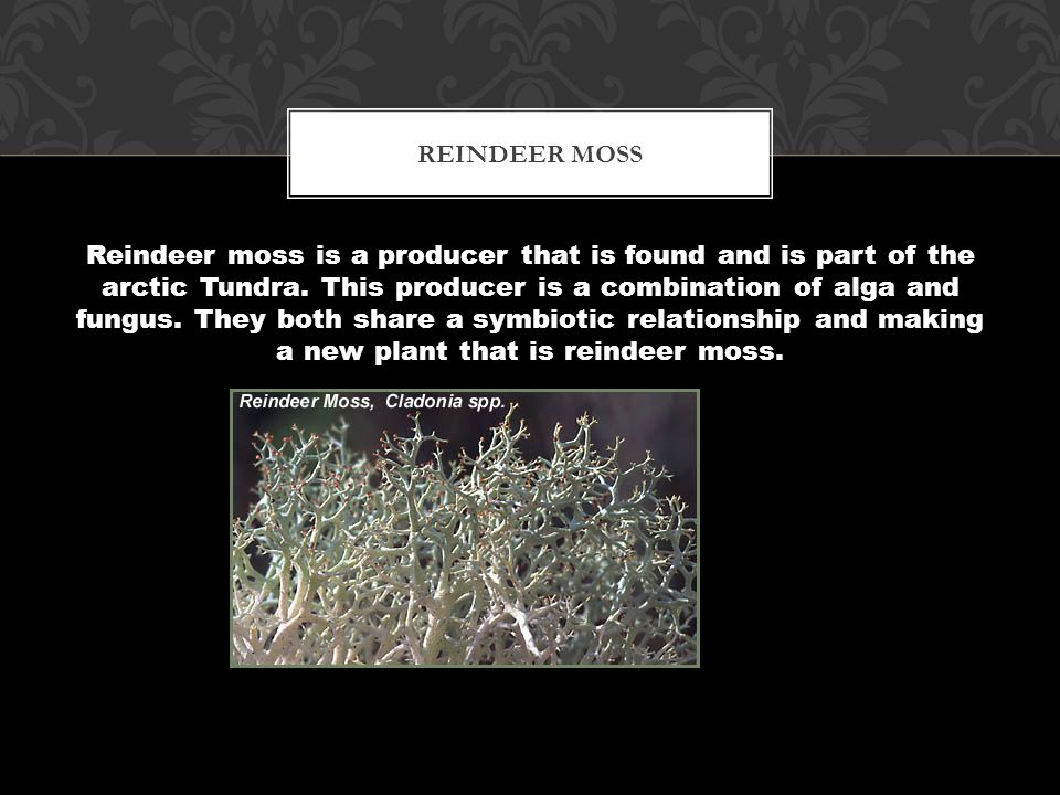 Well the producers are grass and other small flower-like plants that survive cold climates, a producer could be reindeer moss.