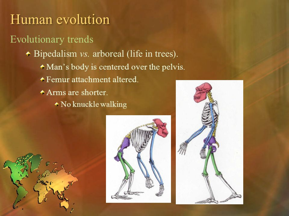 Human evolution Evolutionary trends Bipedalism vs. arboreal (life in trees). Man's body is centered over the pelvis. Femur attachment altered. Arms ar