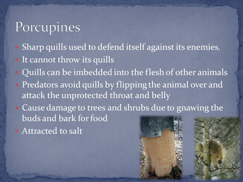 Sharp quills used to defend itself against its enemies.