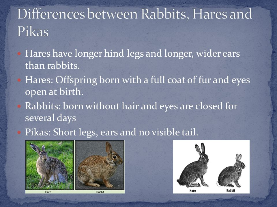 Hares have longer hind legs and longer, wider ears than rabbits.