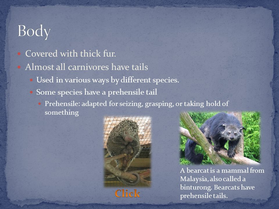 Covered with thick fur.Almost all carnivores have tails Used in various ways by different species.