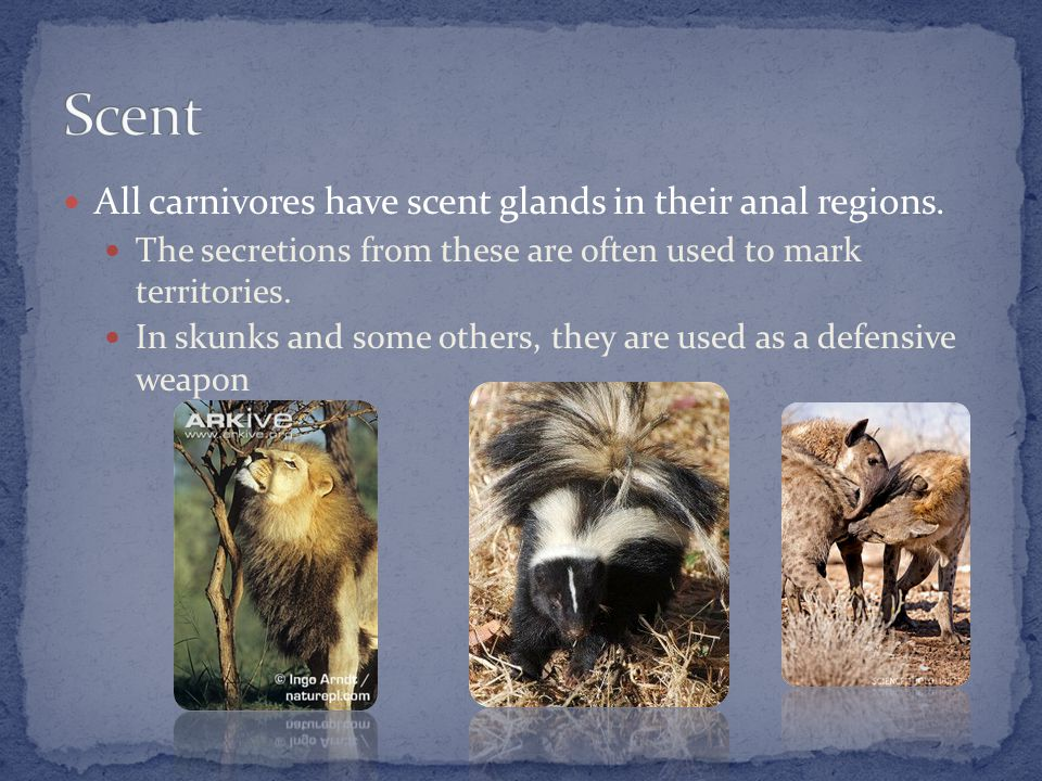 All carnivores have scent glands in their anal regions.