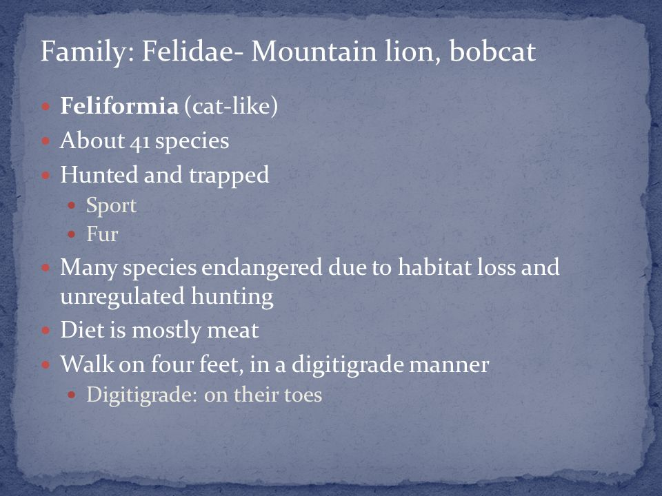 Feliformia (cat-like) About 41 species Hunted and trapped Sport Fur Many species endangered due to habitat loss and unregulated hunting Diet is mostly meat Walk on four feet, in a digitigrade manner Digitigrade: on their toes