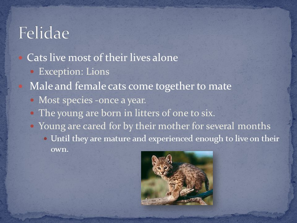 Cats live most of their lives alone Exception: Lions Male and female cats come together to mate Most species -once a year.