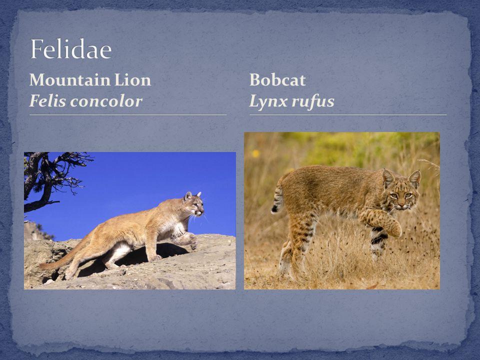 Mountain Lion Felis concolor Bobcat Lynx rufus