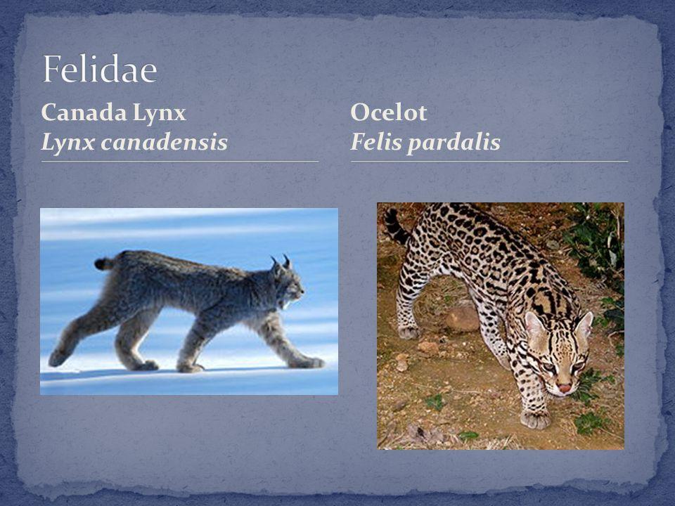 Canada Lynx Lynx canadensis Ocelot Felis pardalis