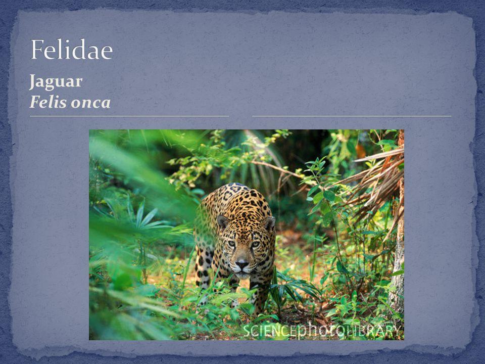 Jaguar Felis onca