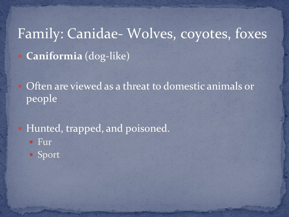 Caniformia (dog-like) Often are viewed as a threat to domestic animals or people Hunted, trapped, and poisoned.