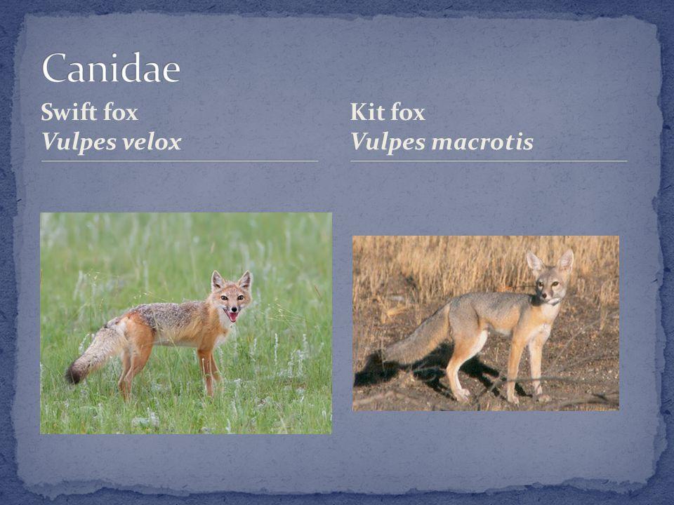 Swift fox Vulpes velox Kit fox Vulpes macrotis