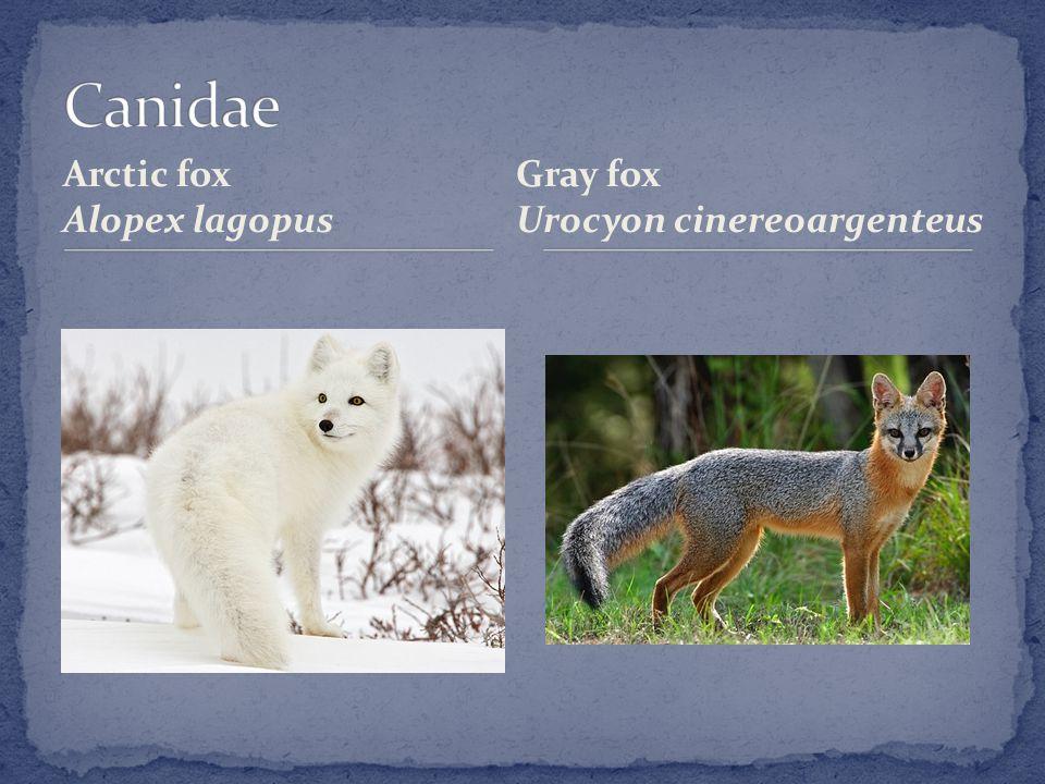 Arctic fox Alopex lagopus Gray fox Urocyon cinereoargenteus