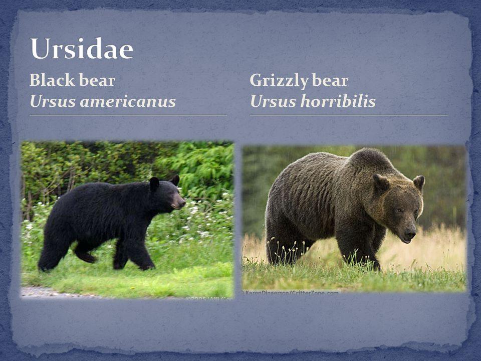 Black bear Ursus americanus Grizzly bear Ursus horribilis